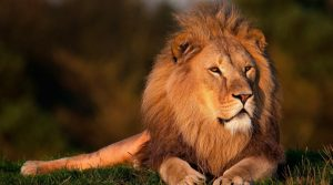 The lion is the symbol for the zodiac sign of of Leo