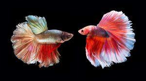 Two fish, the symbol of the zodiac sign Pisces